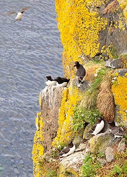 Nests at Carrick-a-Rede